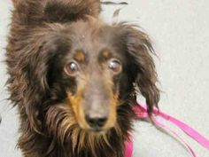 SAFE 04/04/15 --- Brooklyn Center ISAAC - A1031848 NEUTERED MALE, BLACK / TAN, DACHSHUND LH MIX, 7 yrs STRAY - STRAY WAIT, NO HOLD Reason STRAY Intake condition EXAM REQ Intake Date 03/31/2015 https://www.facebook.com/Urgentdeathrowdogs/photos/pb.152876678058553.-2207520000.1428188262./986586278020918/?type=3&theater