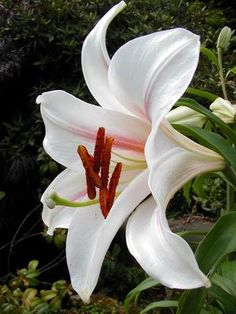 White Asiatic Lily