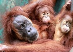 Gober's two babies Ginting and Ganteng are pictured with her at the center run by the Sumatran Orangutan Conservation Programm prior to her surgery for cateracts