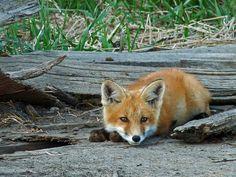 Red Fox kit relaxing by annkelliott, via Flickr