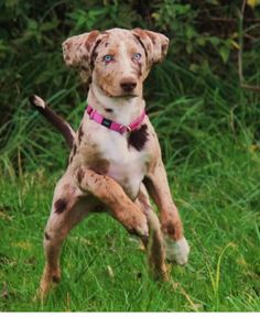 The Catahoula Leopard dog has a striking appearance and a strong work ethic. He's a tough dog bred to work in swamps and forests.  He is the State Dog of Louisiana.