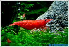Fire Red, Neocaridina Heteropoda