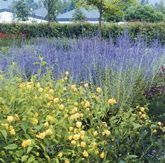New Annuals and Perennials Available Now for the Garden: Russian Sage 'Taiga' (Perovskia atriplicifolia)