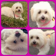 #TongueOutTuesday #cotondetulear #Cotonlovers #doglovers #dogs Doggies