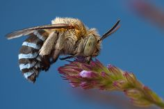 Anthony Tancredi's Blue, banded bee [larger imgs, from original URL]