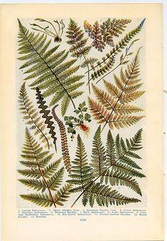Vintage Botanical Prints Northern Ferns 1926 by find4you