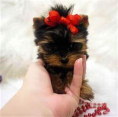 Micro Yorkshire Terrier Puppy For Sale - Sugar Butt Teacup Yorkies ...