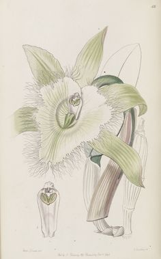 Orchid - Rhyncholaelia digbyana [as Brassavola digbyana]. Edwards's Botanical Register v.32- t.53 (1846) [Sarah Ann Drake]