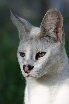 this kitty is Pharaoh, the white serval :)