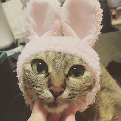 無理やりうさちゃん🐰  #かぶりもの嫌い #すぐ取る (笑)  今日も仕事がんばる。  #まなねこ #愛猫 #猫愛好家 #🐱 #さらんへ  #고양이 #🐱
