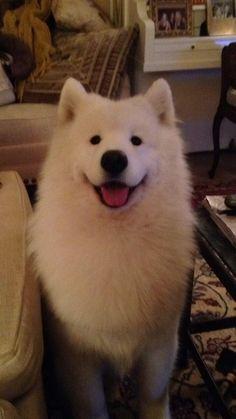 Dat face doeeeee  #samoyed #love