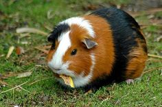 i really like guinea pigs.... this one kind of looks like mine. the one i have is called ginny