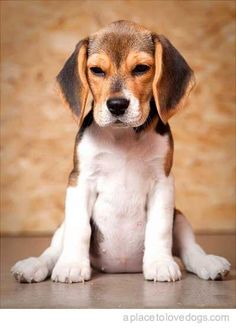 Beagle Puppy. Can I just have one now?