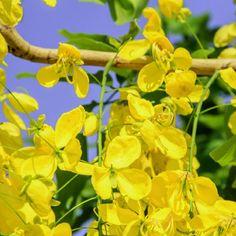 Cassia Oil Improves Circulation, Arthritis & Depression by @draxe