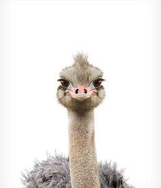 Baby Ostrich Print