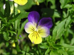 Viola tricolor (heartsease) - Dainty, small-headed pansies in shades of purple, violet, cream and yellow, appear in profusion for a long period throughout the summer. The flowers of this annual or short-lived perennial are edible and can be used to garnish puddings or add to salads.