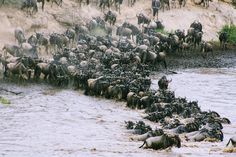 The Great Wildebeest Migration - an annual journey that sees over 1.5 million wildebeest, 200 000 zebras and 450 000 gazelles cross the vast wilderness between the Serengeti in Tanzania and the Masai Mara in Kenya