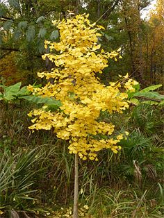 There are several Ginkgo Trees on the Dinosaur Trail.