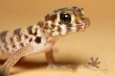Teratoscincus roborowski - adult male :) #gecko