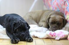 #buldoguecampeiro  #dog #pet #bulldog Moscou (5 meses) e Marga (4 anos)