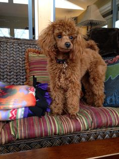 """Leo - Red Miniature Poodle, 8 months Hope your doing well! From your friends at Scottsdale dog training""""k9katelynn""""! Please see More about phoenix dog training at k9katelynn.com! Pinterest with over 21,200 followers! Google plus with over 280,000 views! LinkedIn with over 10,000 associates!! Now on instant-gram ! K9katelynn proudly serving the valley for 12 years!"""