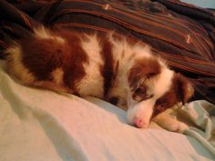 my new Red Merle Aussie Puppy~ Kendall