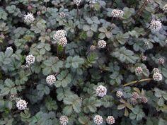 Acaena buchananii of stekelnootje als wintergroene bodembedekker.