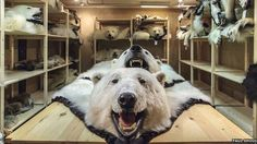 Canadian Polar Bear Hunt Continues, Despite Extinction Threat -- blame the Inuit Endangered Plants, Endangered Species, Polar Bear Hunting, Polar Bears, Trophy Hunting, All Gods Creatures, Animal Cruelty, International Trade, Animal Rights