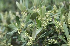 Bloeiende olijfbomen