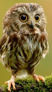 Nothern Saw-Whet Owl!!!!!! So Cute!!!!!!!