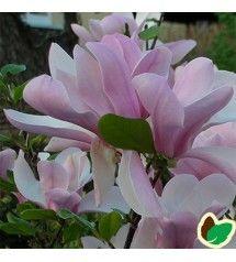 Magnolia soulangeana - Magnolia / 175-200 cm. - ST