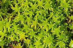 ašeliník(Sphagnum) Rašeliník je mech s neukončeným růstem. Zástupci tohoto rodu mohou ve svých buňkách pojmout velké množství vody. Lístky jsou jednovrstevné. Chlorocysty jsou zelené buňky zajišťující fotosyntézu.