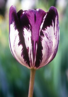 """GLORIA NIGRORUM, 1837 """"Black Glory"""" is one of the very oldest surviving Bijbloemen tulips. First offered in 1837 by Voorhelm and Schneevogt, a fabled bulbhouse that had catered to wealthy bulb lovers since the 17th century. (From oldhousegardens.com)"""