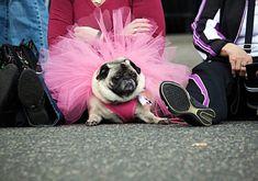 Ballet Pug