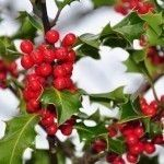Winterberry Holly Information – Caring For Winterberry Holly Shrubs