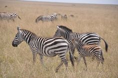 Zebras Africa Places to visit before you die...