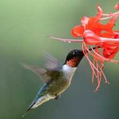 Saw a tiny Hummingbird similar to this one drinking nectar from my Guava Tree this past summer.  Bloom looks the same too.  Strange..