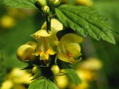 Heinrich Wilhelm: Die gelben Blüten der Goldnessel - Leinwandbild auf Keilrahmen