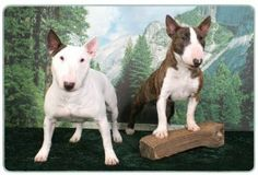 """Bull Terrier Cutting Board by Canine Designs. $29.95. Hygenic and easy to clean.. Scratch Resistant - imprinted on back. Made of tempered glass making it virtually unbreakable.. Heat resistant.. Size: 8"""" x 11"""". Our beautiful, dog breed cutting boards will enhance any kitchen. They make great gifts, are made of tempered glass and measure 9"""" x 12"""". They are heat resistant, scratch resistant, virtually unbreakable, easily cleaned and dishwasher safe."""