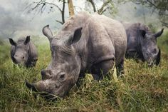 """Merit: White Rhinos by Stefane Berube """"The night before this photo, we tried all day to get a good photograph of the endangered white rhino. Skulking through the grass carefully, trying to stay 30 feet away to be safe, didn't provide me the photo I was hoping for. In the morning, however, I woke up to all three rhinos grazing in front of me."""" The photo was taken at the Ziwa Rhino Sanctuary, Uganda."""