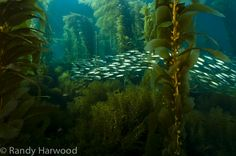 The eerily mystical kelp forest