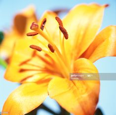 Stock Photo : close-up of a yellow tiger lily Bts Lockscreen, Any Images, Still Image, Royalty Free Images, Close Up, Lily, Stock Photos, Yellow, Flowers