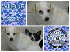 **RESCUE ONLY** **URGENT LIST 09/02/2015 MUST HAVE COMMITMENT BY 10AM** WILBUR URGENT - SCARED DH309 ID29504923 shivering in corner very scared in this environment. 2YR OLD TERRIER/MIX ALTERED MALE 19 LBS EXPECTED ADULT SIZE SMALL INTAKE DATE: - 08/28/2015  AVAILABLE-WILBUR CAME IN WITH HIS SISTER SCOOTER ID 29504961 AT NO FAULT OF THEIR OWN. WILBUR IS LOOKING FOR A FOREVER LOVING HOME…