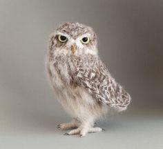 Little Owl — Jose Heroys Baby Sparrow, Short Eared Owl, Owl Photos, Needle Felting Tutorials, Crochet Birds, Great Horned Owl, Beautiful Owl, Knitted Flowers, Little Owl