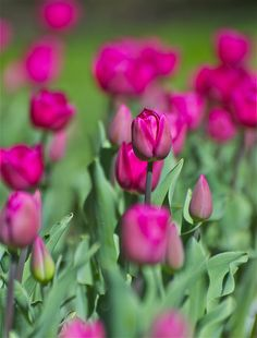 ONE OF MY FAVE FLOWERS-Pink Tulip