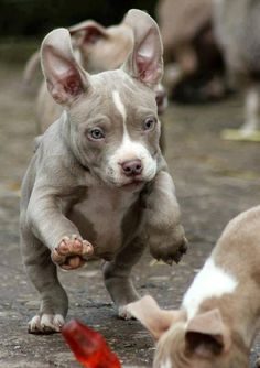 Pit Bull puppy pouncing