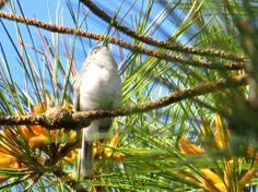 Blue Gray Gnatcatcher: 25 April 2014, Belle Isle State Park, Lancaster, VA, 8-11 a.m., sunny, calm, 50-65 degrees