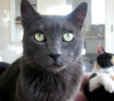 Shanti is a 15 yr. old female Russian Blue mix available at Valley Animal Center, Fresno,CA.