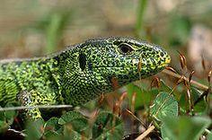JEŠTĚRKA OBECNÁ - je jeden z nejrozšířenějších druhů ještěrky v České republice a žije pod kameny nebo ve skulinách