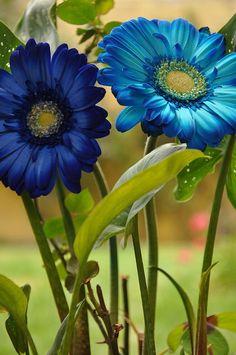 Blue Gerbera Daisies, beautiful